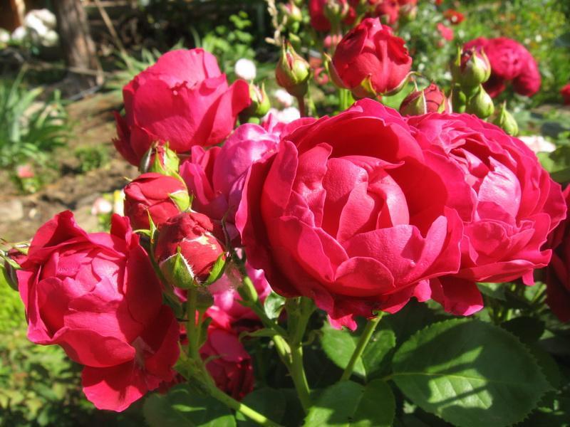 сан сити роза фото