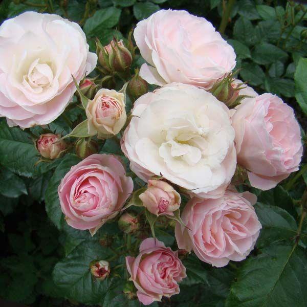 Роза букет парфе мускусная ленс