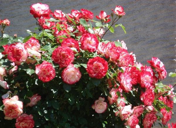 Роза жубиле дю принс де монако