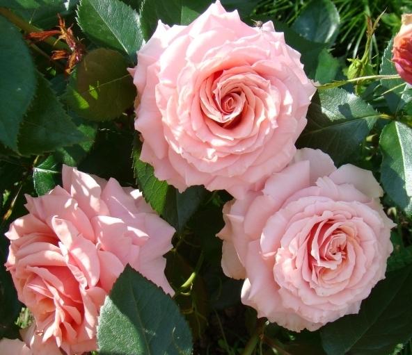 розы со знаком are